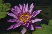 Nymphaea Plants Posters - Fragrant Water Lily Flower Nymphaea Poster by Richard Nowitz