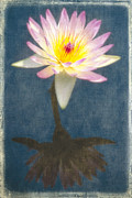 Nymphaea Prints - Fragrant Water Lily with Reflections Print by George Oze