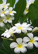 Fragrant White Plumeria Print by Kerri Ligatich