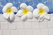 White Flower Prints - Frangipani Flowers Print by Laura Leyshon