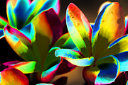 Frangipani Photos - Frangipani Flowers of Color by Douglas Barnard
