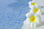 Water Swimming Pool Posters - Frangipani Fowers Poster by Laura Leyshon
