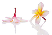 Beautiful Photo Originals - Frangipani or Leelawadee by Atiketta Sangasaeng