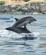 Dolphin Photo Framed Prints - Frasers Dolphins Framed Print by Louise Murray