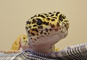 Freckles The Smiling Leopard Gecko Print by Chad and Stacey Hall