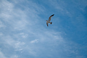 Sea Gull Photos - Free by Joshua Volff