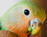 Lovebird Photos - Freedom In The Eyes by Syed Aqueel