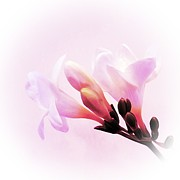 Pale Pink Posters - Freesia Poster by Sharon Lisa Clarke