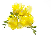 Yellow Flowers Photos - Freezia Bouquet by Rebecca Cozart