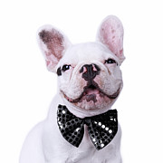 French Bulldog And Bow Tie Print by Maika 777
