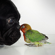 Lovebird Photos - French Bulldog And Lovebird by Mascotas y varios