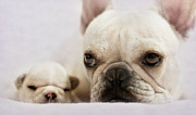 Animal Head Posters - French Bulldog Poster by Copyright © Kerrie Tatarka