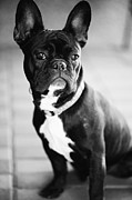 Pets Photo Acrylic Prints - French Bulldog Acrylic Print by Falko Follert