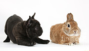 Brindle Prints - French Bulldog Pup And Rabbit Print by Mark Taylor
