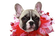 Puppy Metal Prints - French Bulldog Puppy Metal Print by Mlorenzphotography