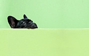 Horizontal Art - French Bulldog Puppy by Retales Botijero