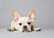 Dog Lying Down Prints - French Bulldog Print by Square Dog Photography