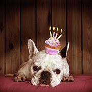 Humor Prints - French Bulldog With Birthday Cupcake Print by Retales Botijero