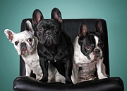 Three Animals Framed Prints - French Bulldogs Framed Print by Retales Botijero