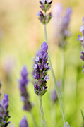 Lavandula Posters - French Lavender (lavandula Dentata) Poster by Power And Syred