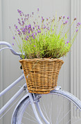 Color Purple Framed Prints - French Lavender Plant In Old Bicycle Wicker Basket Framed Print by David Burton