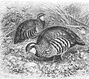 Partridge Posters - French Partridges Poster by Granger