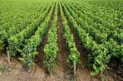 Winemaking Photo Metal Prints - French vineyard Metal Print by Bernard Jaubert