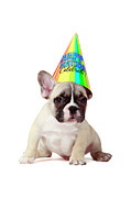Party Hat Posters - Frenchie Wearing Birthday Hat Poster by Mlorenzphotography