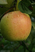 Fresh Apple Print by Susan Herber
