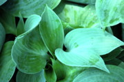 Nature Acrylic Prints - Fresh Hostas by Kimberly Gonzales