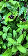 Blackberry Photo Posters - Fresh  Poster by JC Findley
