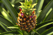 Tropical Fruit Prints - Fresh Pineapple Print by Cheryl Young