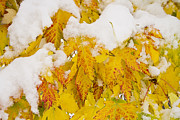 Autumn Prints Framed Prints - Fresh Snow on Colorful Autumn Leaves Framed Print by James Bo Insogna