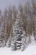 Winter Scenes Metal Prints - Fresh Snow Tops The Trees In Santa Fe Metal Print by Ralph Lee Hopkins