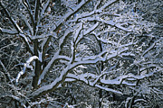 Concord Massachusetts Metal Prints - Fresh Snowfall Blankets Tree Branches Metal Print by Tim Laman