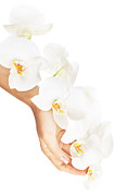 Treatment Posters - Fresh white orchid in female hands Poster by Anna Omelchenko