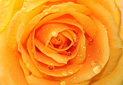 Roses Digital Art - Fresh Yellow  by Mark Ashkenazi