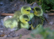Fluffy Chicks Posters - Freshly Hatched Baby Geese Poster by Crystal Garner