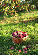 Basket Photos - Freshly picked apples in the orchard  by Sandra Cunningham