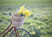 Bicycle Basket Prints - Freshly Picked Daffodils In A Bicycle Front Basket Print by Dougal Waters