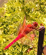 Dragon Fly Photo Prints - Friendly Dragon Fly Print by Julie Hiskett