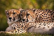 Cheetahs Prints - Friends Forever Print by Chad Davis