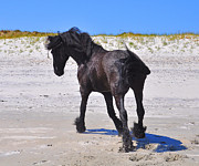 Friesian Posters - Friesian and Sand Dunes Poster by Amy Warnke