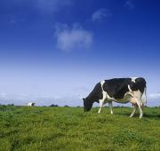 One Cow Posters - Friesian Cow Grazing In A Field Poster by The Irish Image Collection
