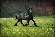 Friesian Posters - Friesian Power Poster by Fran J Scott