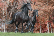 Friesian Prints - Friesians in Fall Print by Laurie Comfort