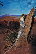 Large Scale Framed Prints - Frill-Necked Lizard Framed Print by Kaye Menner