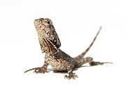 Reptile Photos - Frilled Dragon by Www.tommaddick.co.uk