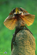 Ai Prints - Frilled Lizard Chlamydosaurus Kingii Print by Jean-Paul Ferrero
