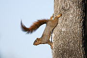 Bushy Tail Posters - Frisky Little Squirrel with a Twirly Tail Poster by Bonnie Barry
